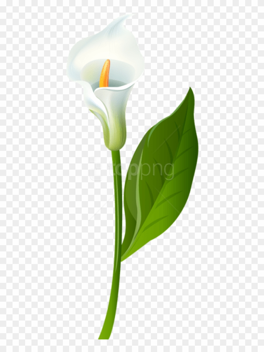 Free Png Download Calla Lily Transparent Png Images.