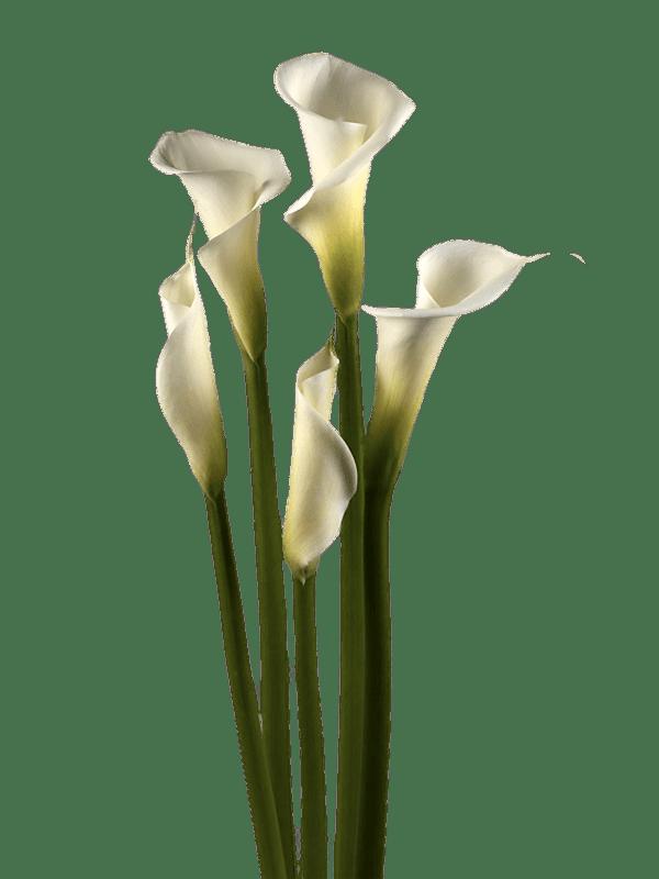 White Calla Lilies transparent PNG.