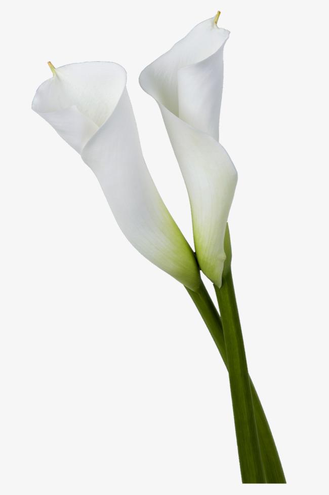 Fresh Calla Lily, Calla Lily, Small Fres #235715.