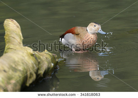 Ringed Teal Stock Photos, Royalty.
