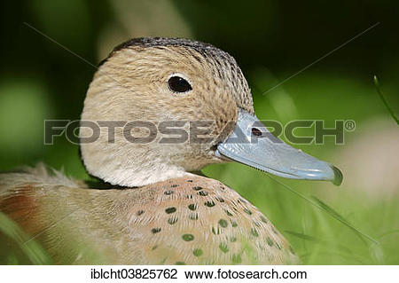 "Stock Photo of ""Ringed Teal (Callonetta leucophrys), drake, native."