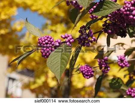 Stock Photo of Close up of Bodinier's beautyberry (lat. Callicarpa.