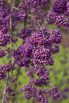Beauty Berry bush( Calicarpa) attracts Mockinbirds and Songbirds.