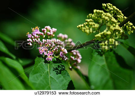Stock Photo of Japanese Beautyberry (Callicarpa japonica.
