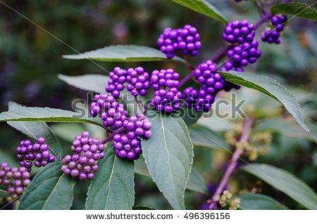 Beautyberry Stock Photos, Royalty.