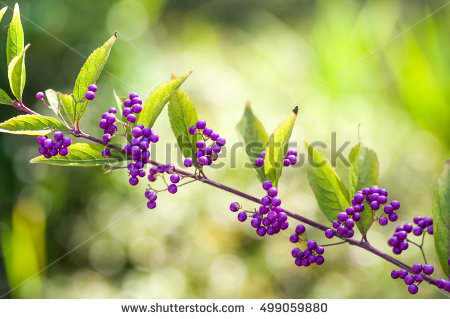 Callicarpa Stock Photos, Royalty.