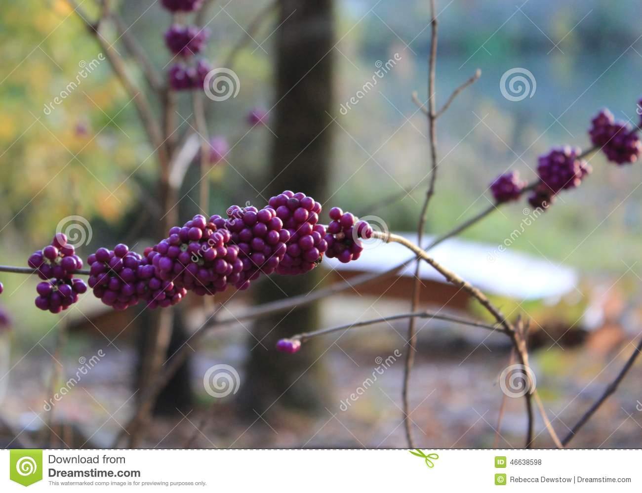 Beautyberry Purple Berry Stock Photo.