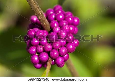 Stock Photography of Beautyberry Shrubs (Callicarpa Dichotoma) b98.
