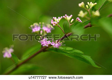 Picture of Purple Beautyberry (Callicarpa dichotoma) flowers.