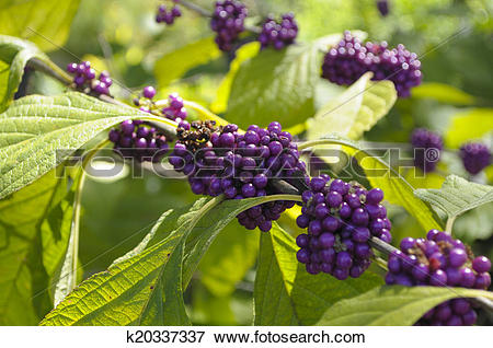 Picture of American beautyberry (Callicarpa americana) k20337337.