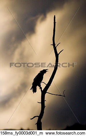 Stock Photo of Raven perched in tree calling silhouetted against.