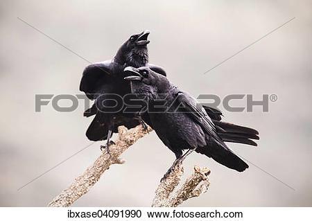 Stock Photography of Common Raven (Corvus corax), adult pair.