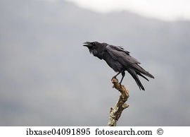 Common raven Stock Photos and Images. 537 common raven pictures.