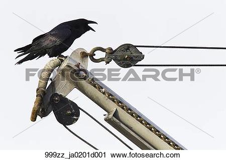 Stock Photography of Common Raven calling while perched on the.