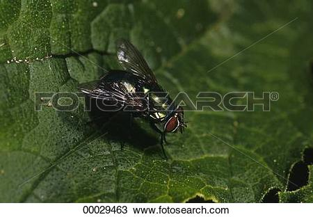 Stock Photo of Calliphoridae, Juniors, Lucilia, animal, animals.