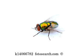 Calliphoridae Illustrations and Stock Art. 26 calliphoridae.