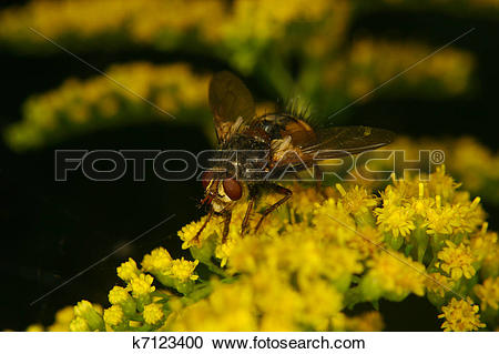 Stock Photography of Blowfly (Calliphoridae) k7123400.