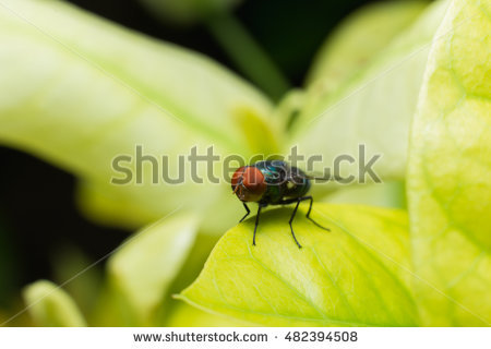 Calliphoridae Stock Photos, Royalty.