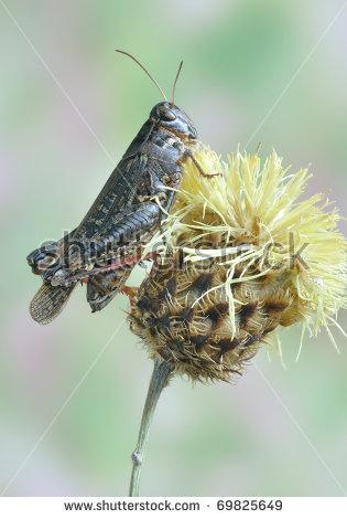 Calliptamus Italicus Stock Photos, Images, & Pictures.
