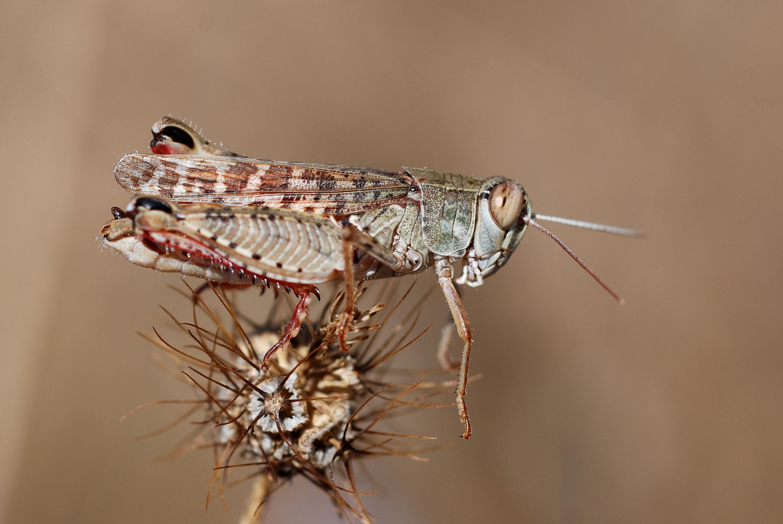 File:Calliptamus italicus male (5011948379).jpg.
