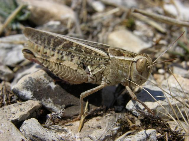 Calliptamus italicus Biopix photo/image 23903.