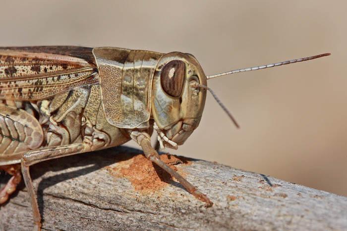 Italian locust Calliptamus italicus.