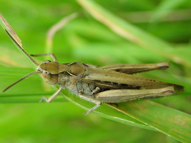 More Bugs/Other Insect/Markgræshoppe (Calliptamus italicus)1.