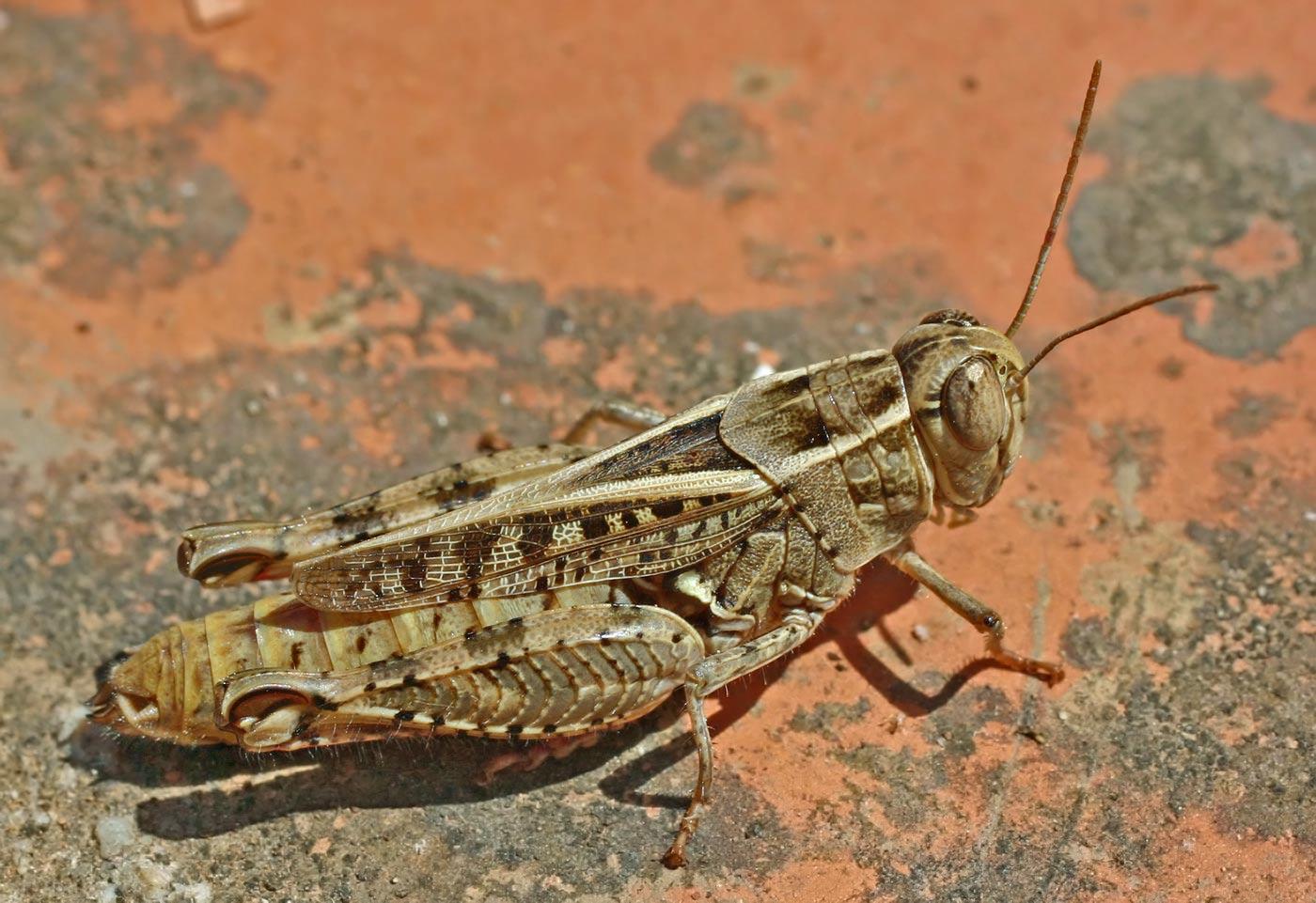 File:Calliptamus italicus (2004.