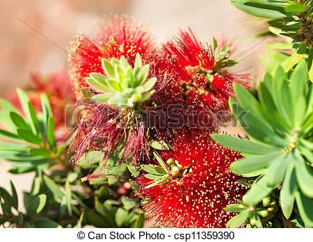Stock Photographs of Red Australian Flower Callistemon Little John.