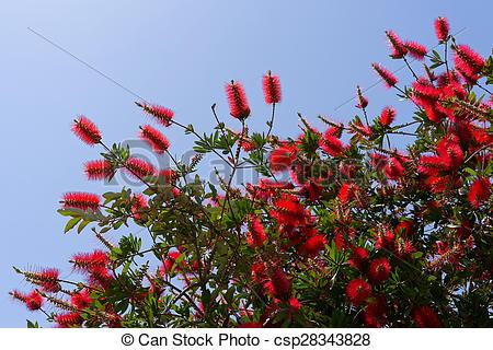 Stock Photo of Bottlebrush Tree (Callistemon) flowering in.