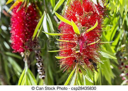 Stock Photos of Callistemon vimidinalis, a ornamental shrub in the.