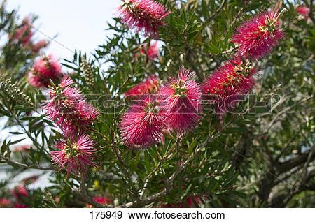 Stock Photograph of Crimson Bottlebrush (Callistemon citrinus.