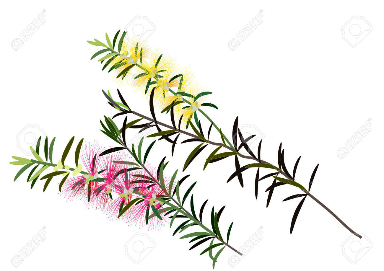 Bottle Brush Flowers Or Callistemon ,yellow,pink Flower On White.