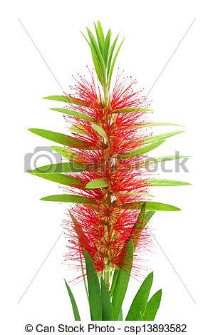 Stock Illustration of Red bottle brush flower isolated on white.