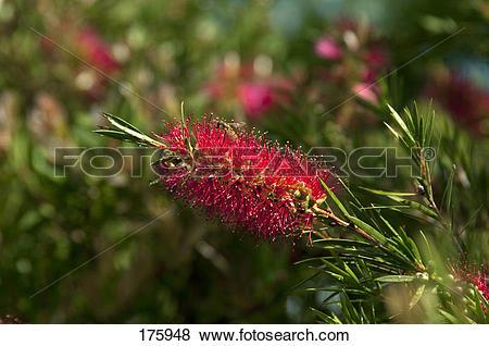 Pictures of Crimson Bottlebrush ((Callistemon citrinus.