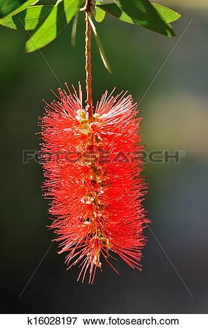 Picture of Callistemon flower k16028197.