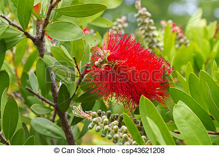Stock Photography of blooming red Bottlebrush plant, Callistemon.