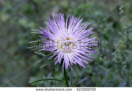 Callistephus Chinensis Stock Images, Royalty.