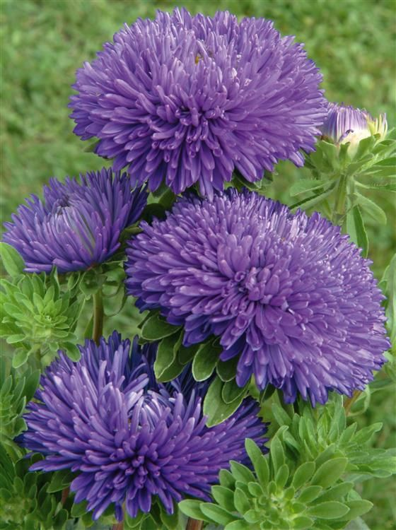1000+ ideas about Aster Flower on Pinterest.