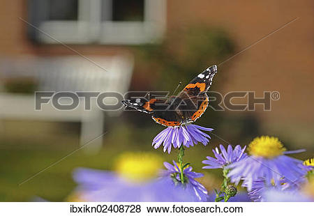 """Pictures of """"Red Admiral butterfly (Vanessa atalanta) on China."""