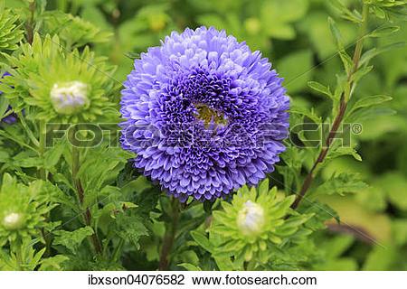"Stock Photo of ""Chinese Aster (Callistephus chinensis), flower."