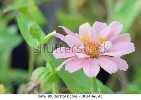 "callistephus Chinensis"" Stock Photos, Royalty."
