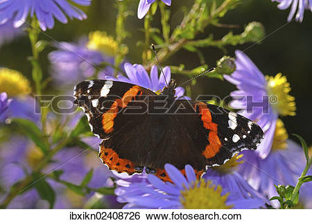Stock Images of Red Admiral butterfly (Vanessa atalanta) on China.