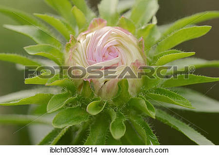 """Stock Photo of """"Annual Aster (Callistephus chinensis, Aster."""