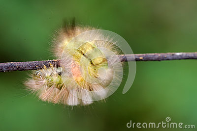 The Pale Tussock Caterpillar.