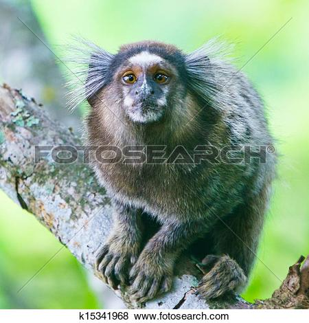 Pictures of Common marmoset.