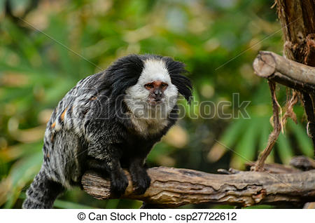 Stock Photography of Small Black and White Monkey.