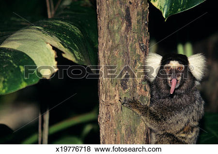 Pictures of Common marmoset (Callithrix jacchus), Central or South.