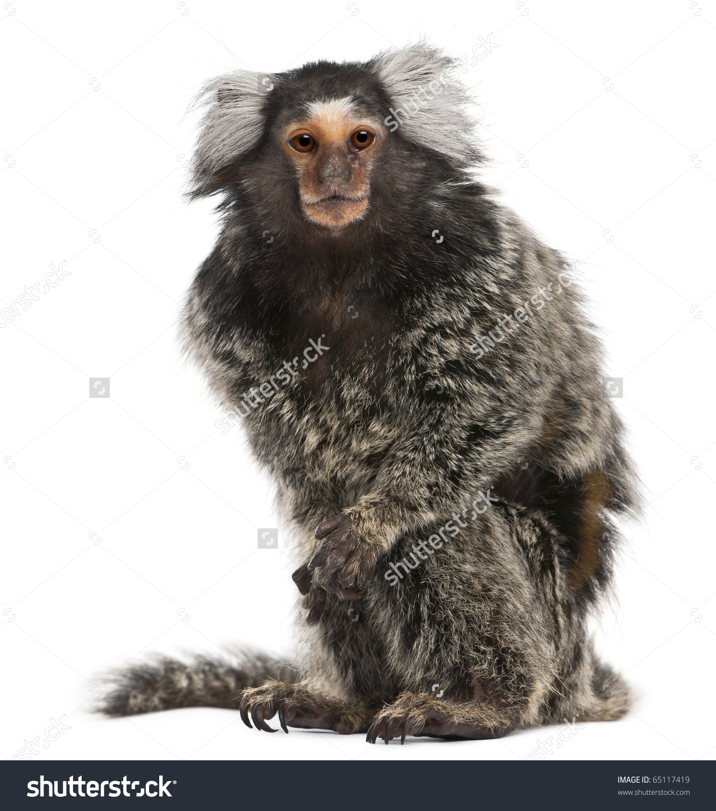 Common Marmoset Callithrix Jacchus 2 Years Stock Photo 65117419.