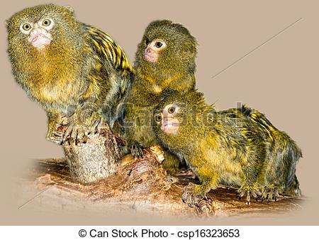 Stock Illustrations of Pygmy marmosets.